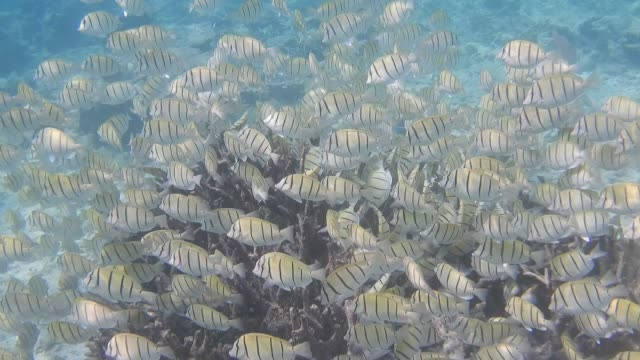 unedited footage of shoal of convict surgeonfish (acanthurus triostegus) - animal colour stock videos & royalty-free footage