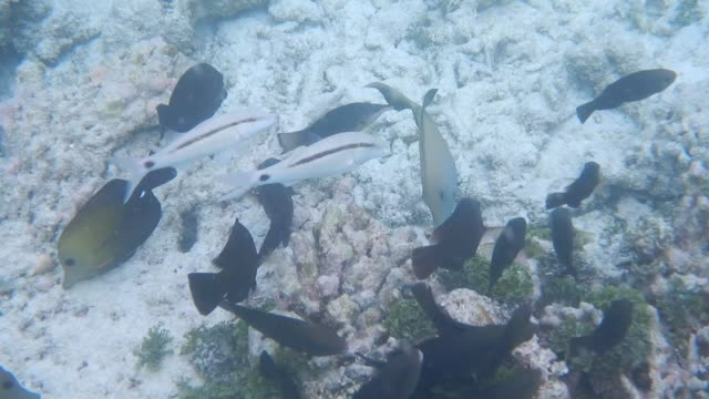 unedited footage of surgeonfish and goatfish on maldivian reef - mullet fish stock videos & royalty-free footage