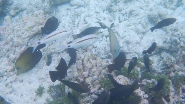 unedited footage of surgeonfish and goatfish on maldivian reef - goatfish stock videos & royalty-free footage