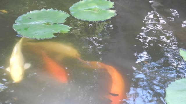 Unedited Footage of Tropical Pond With Water Lilies and Carps