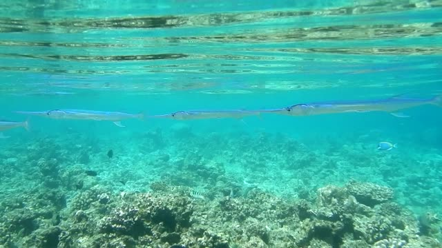 unedited footage of trumpet fish swimming in maldivian lagoon at low tide - trumpet fish stock videos & royalty-free footage
