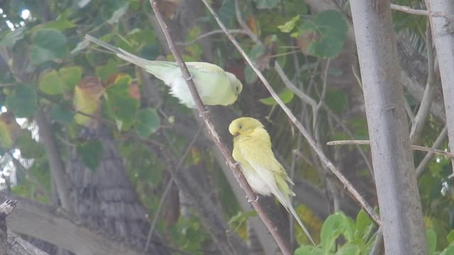 unedited footage of two budgerigar (melopsittacus undulatus), long-tailed parakeet - budgerigar stock videos & royalty-free footage