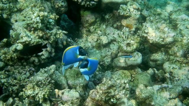 unedited footage of two  powder blue surgeonfish or blue tang fish (acanthurus leucosternon) - surgeonfish stock videos and b-roll footage
