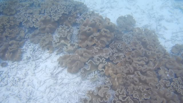 Unedited Footage of Wart Coral in Maldivian Lagoon