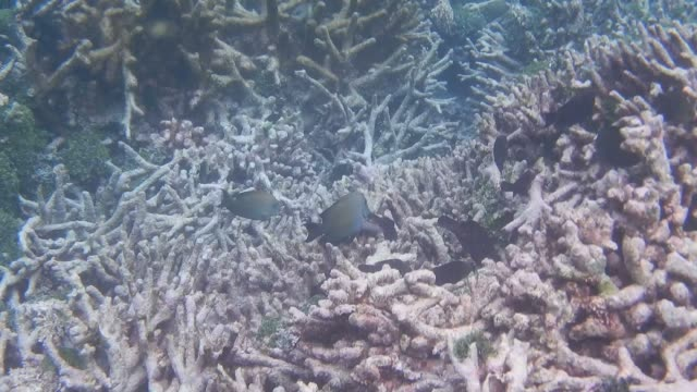 unedited footage with acropora coral and sailfin surgeonfish - surgeonfish stock videos and b-roll footage