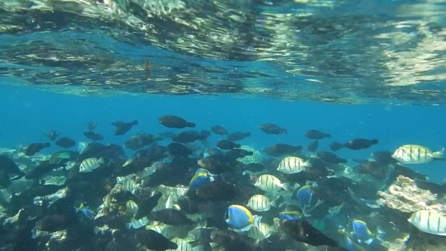 unedited video of shoal of black parrotfish, convict surgeonfish and powder blue surgeonfish - parrotfish stock videos & royalty-free footage