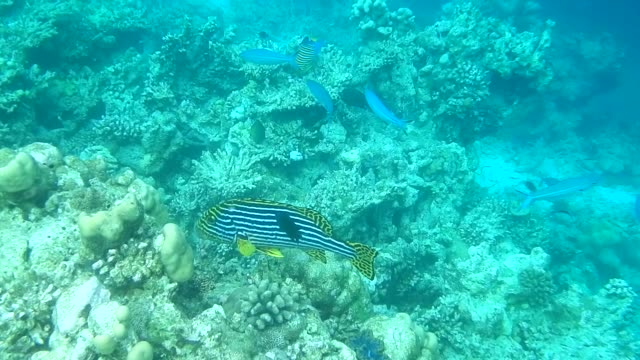 unedited video of shoal of blue fusilier fish and oriental sweetlips - sweetlips stock videos & royalty-free footage