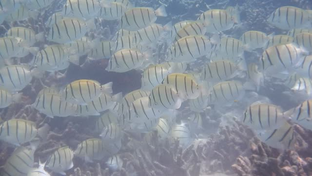 unedited video of shoal of convict surgeonfish (acanthurus triostegus) - surgeonfish stock videos and b-roll footage