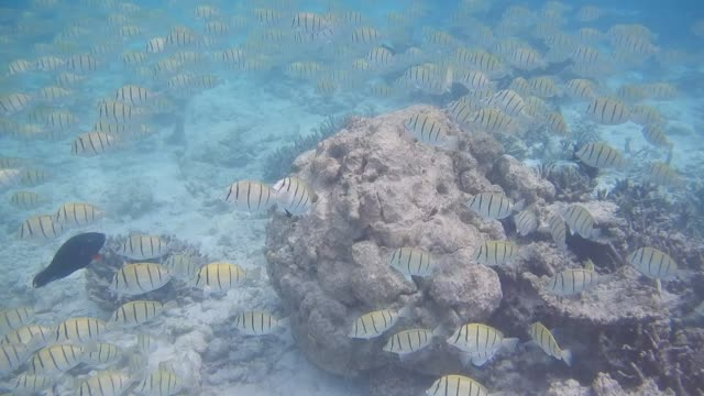 unedited video of shoal of convict surgeonfish (acanthurus triostegus) - tierfarbe stock-videos und b-roll-filmmaterial