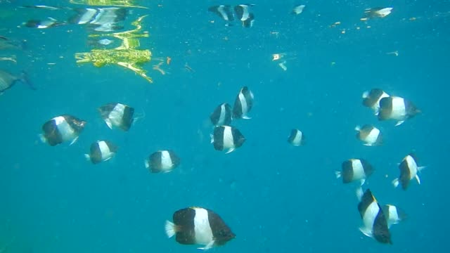 unedited video of shoal of pyramid butterflyfish (hemitaurichthys zoster) - butterflyfish stock videos & royalty-free footage