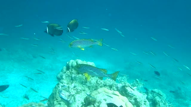 unedited video of two oriental sweetlips and other tropical fish - sweetlips stock videos & royalty-free footage