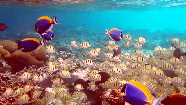 unedited video: shoal of convict surgeonfish (acanthurus triostegus) - surgeonfish stock videos and b-roll footage
