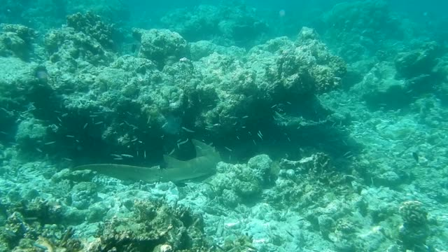 uneditef footage of grey reef shark resting under coral formation - grey reef shark stock videos & royalty-free footage