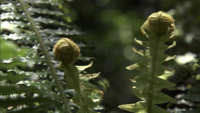 unfurling fronds of forest ferns, codfish island, new zealand - fern stock videos & royalty-free footage
