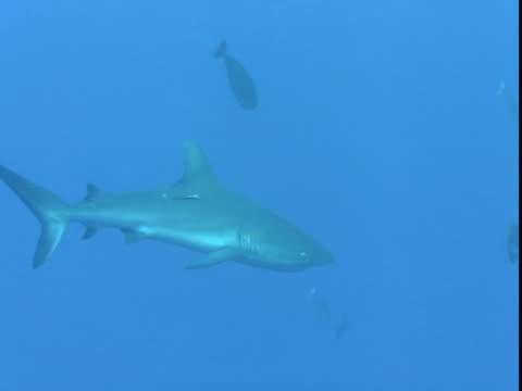 unicornfish and fusiliers swim past grey reef shark. - grey reef shark stock videos & royalty-free footage