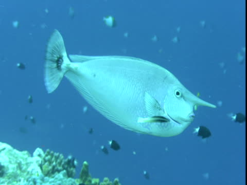 A unicornfish hovers above a coral reef where a cleaner wrasse clean its gills.