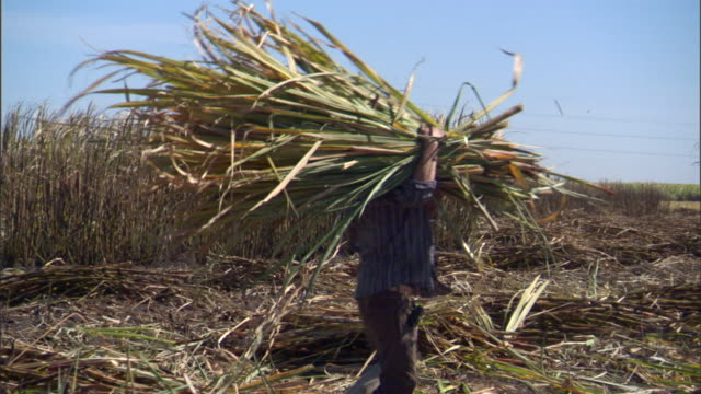unidentifiable farmer picks up bundle of sugarcane carries it past two unidentifiable workers as they gather and chop crops on plantation - sugar cane stock videos & royalty-free footage