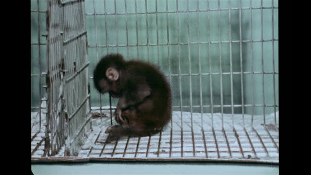 Unidentified female assistant holding isolation reared monkey stressed baring teeth back in cage rocking VS Isolation raised monkeys rocking...