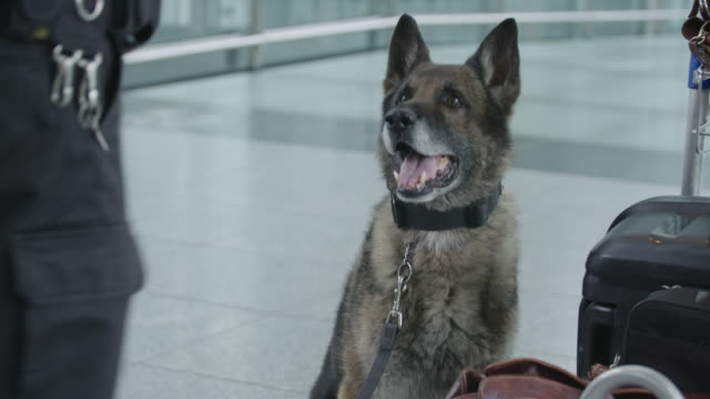 stockvideo's en b-roll-footage met k-9 unit checking luggage at airport - ruiken