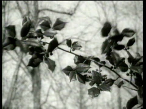 vídeos de stock, filmes e b-roll de holly harvesters work in trees to supply christmas decorations - trepadeira