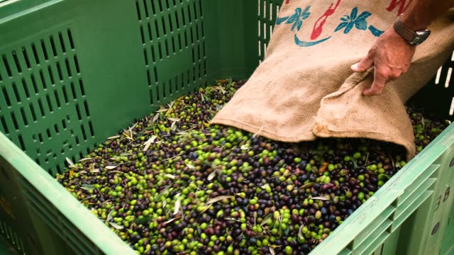 unloading lots of olive fruit just harvested from bag - black olive stock videos & royalty-free footage