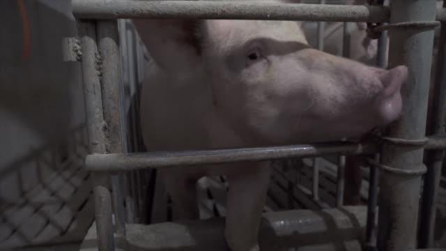 unos 14.500 cerdos han sido sacrificados en la ciudad de lianyungang al este de china en medio de esfuerzos de autoridades del gigante asiatico para... - epidemic stock videos & royalty-free footage