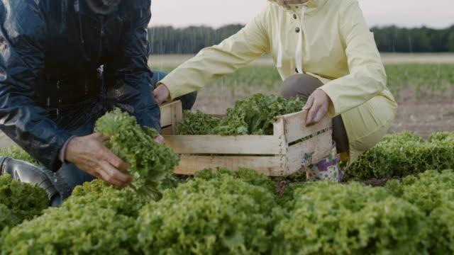 slo mo unkenntlich paar ernte salat auf dem feld im regen - holzkiste stock-videos und b-roll-filmmaterial