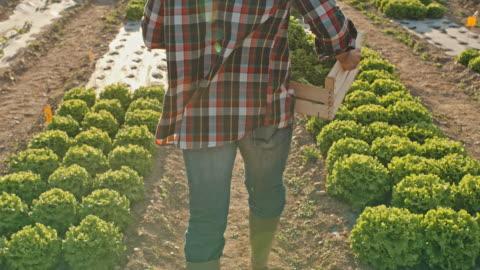 vídeos y material grabado en eventos de stock de slo mo unrecognizable agricultor lleva una caja llena de lechuga a través de un campo - tartán