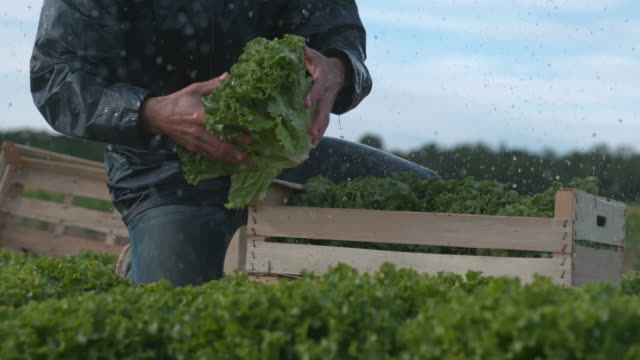super slo mo unrecognizable farmer stacking lettuce into a crate in the rain - lettuce stock videos & royalty-free footage