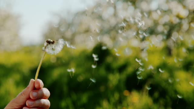 vídeos de stock e filmes b-roll de slo mo unrecognizable person blowing dandelion - soprar