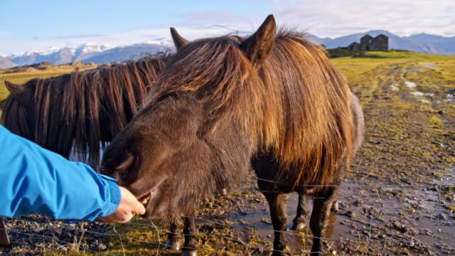 vidéos et rushes de personne méconnaissable, nourrir les chevaux islandais - two animals