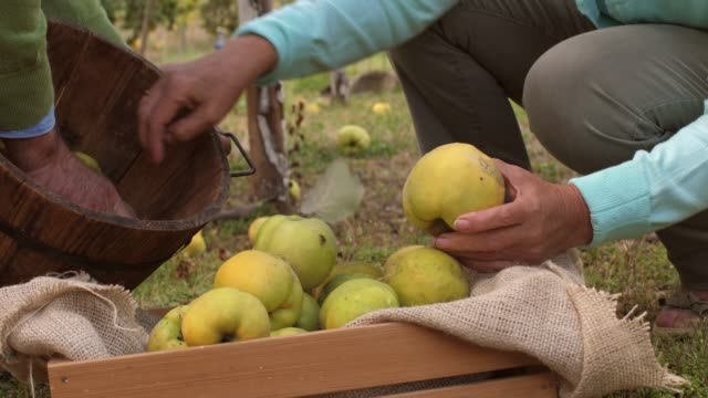 unrecognizable senior couple harvesting ripe quinces from their orchard - abundance stock videos & royalty-free footage