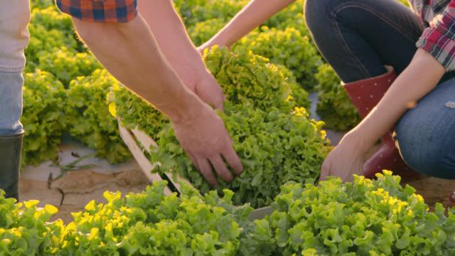 PAN Unrecognizable vegetable growers harvesting lettuce plants