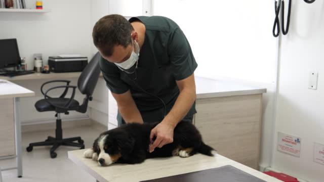 unrecognizable veterinarian listening to a shepherd bernes's lungs - veterinarian stock videos & royalty-free footage