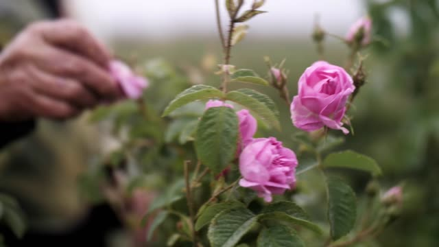 unrecognizable woman picking rose blossoms, essential oil production - bulgaria stock videos & royalty-free footage