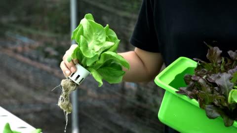 vidéos et rushes de non reconnue femme main cueillette salade, légumes à la ferme hydroponique. - culture hydroponique