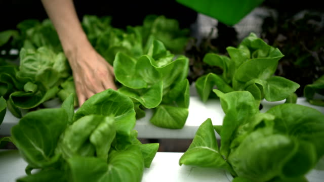 unrecognized woman hand picking salad, vegetable in hydroponic farm. - butter lettuce stock videos & royalty-free footage