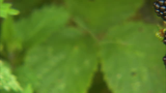 unripe and ripe berries - brambleberry stock videos & royalty-free footage