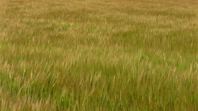 ms, unripe barley swaying in wind, england - unripe stock videos and b-roll footage