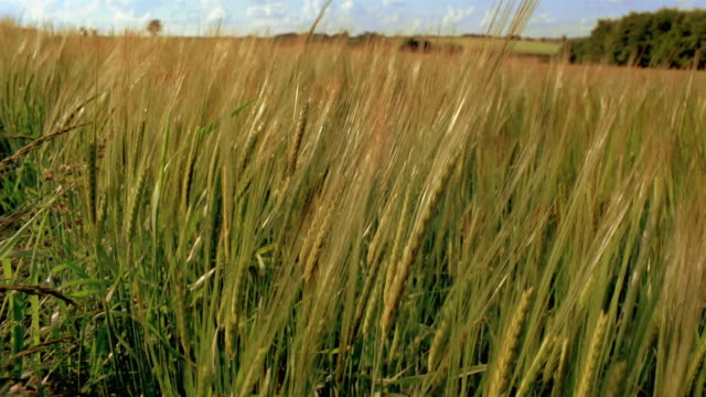 cu, unripe barley swaying in wind, england - unripe stock videos and b-roll footage