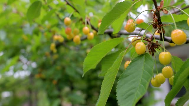 unripe cherries hanging from a branch with green leaves - unripe stock videos and b-roll footage