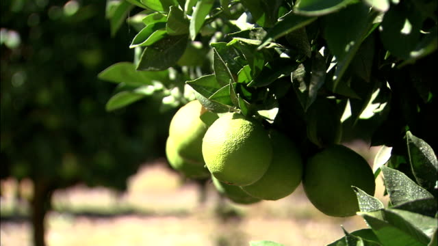 unripe fruit in orchard affected by salinisation australia - unripe stock videos and b-roll footage
