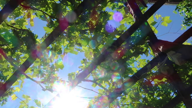 unripe grape fruits in vineyard - grape stock videos & royalty-free footage