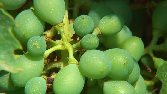cu unripe grapes on vine / tuscany, italy - unripe stock videos and b-roll footage