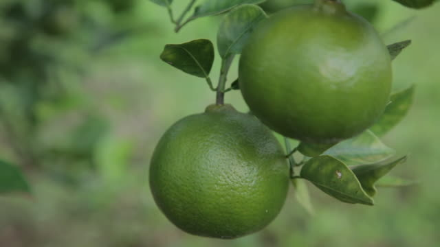 unripe orange fruits - unripe stock videos and b-roll footage