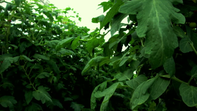 unripe tomatoes on the bush in greenhouse - unripe stock videos and b-roll footage
