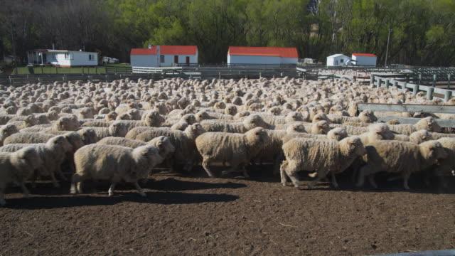 ws unshorn merino sheep on central otago farm / omarama, canterbury, new zealand - farmhouse stock videos & royalty-free footage