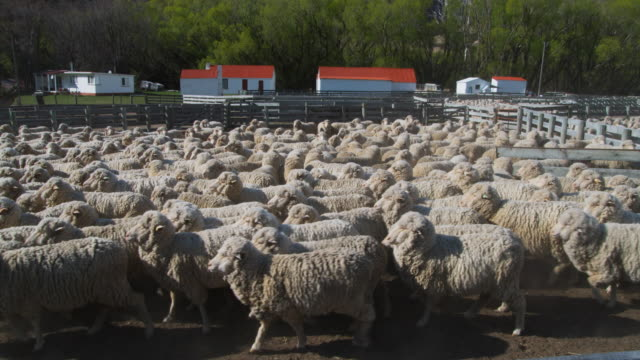 ws unshorn merino sheep on central otago farm / omarama, canterbury, new zealand - animal pen stock videos & royalty-free footage