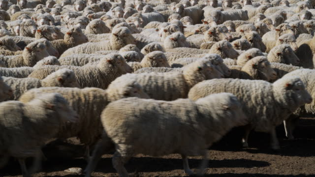 WS Unshorn Merino sheep on Central Otago farm / Omarama, Canterbury, New Zealand