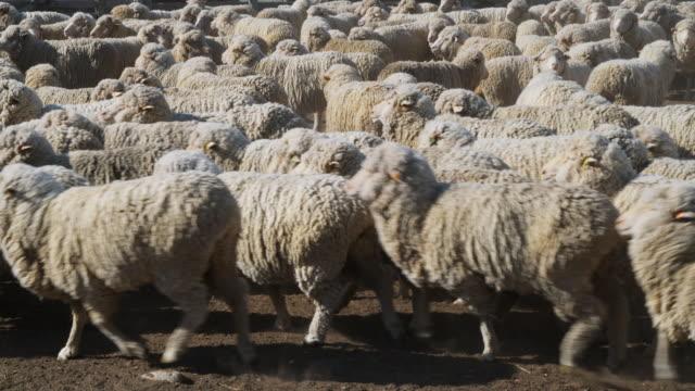 ws unshorn merino sheep on central otago farm / omarama, canterbury, new zealand - merino sheep stock videos and b-roll footage